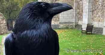 Tower of London's 'Queen' raven feared dead as legend warns 'Kingdom will fall'