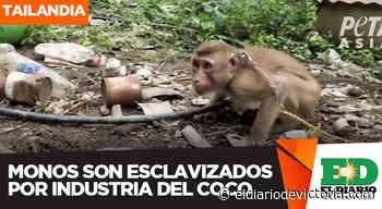 Monos son esclavizados por industria del coco - El Diario de Ciudad Victoria