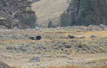 Yellowstone Flashback: When 2 Grizzlies Took on 7 Wolves