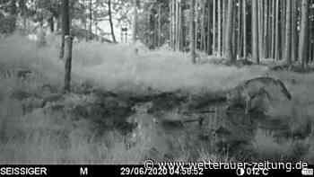Weilheim: Wolf in Oberbayern entdeckt - Jäger mit mahnenden Worten an Hundehalter - Wetterauer Zeitung