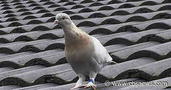 Pigeon thought to have crossed Pacific escapes death in Australia