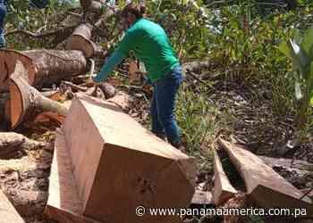 MiAmbiente inicia investigación por tala ilegal en el distrito de Alanje - Panamá América