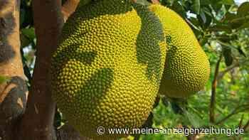 Jackfruit: Das ist die Pflanze hinter dem Fleischersatz