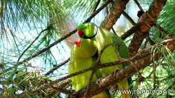 Parrocchetti, tutto sui pappagalli verdi che hanno invaso Roma
