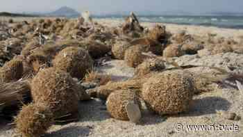 In Kugeln an Strand gespült: Seegras holt Plastikmüll aus dem Meer