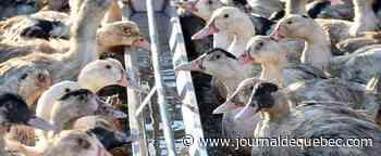 Grippe aviaire : plus de 280 élevages contaminés en France