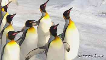 How warm is it in Calgary? Well, the penguins had to be kept inside