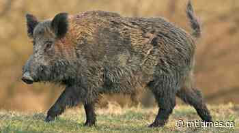 Wild Boar seen in Magog area - residents on alert - mtltimes.ca