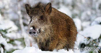 Hakuna Matata! A Wild Boar Was Spotted In Magog, Quebec But You're Not Allowed To Kill It - MTL Blog