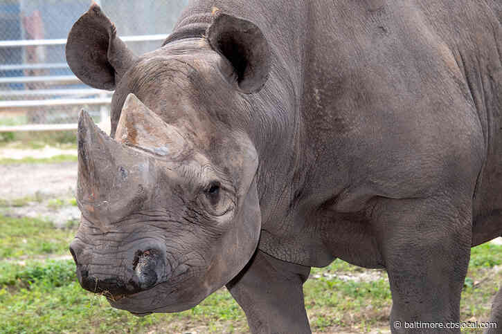 Toshi, Oldest Eastern Black Rhino In North America, Dies At Zoo Miami