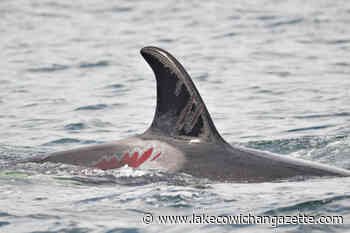 Coast Guard ramps up protections for B.C. whales - Lake Cowichan Gazette