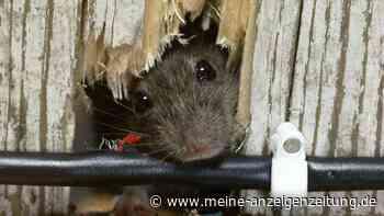 Ungebetene Gäste: Mit welchen Mitteln Sie Mäuse wieder los werden