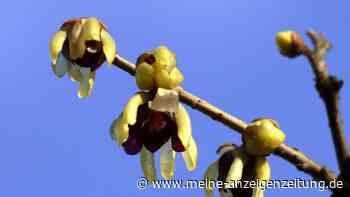 Chinesische Winterblüte: Das müssen Sie über die besondere Pflanze wissen