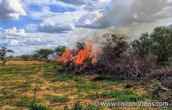 Trinta mil pés de maconha são erradicados em Campo Formoso - Calila Notícias