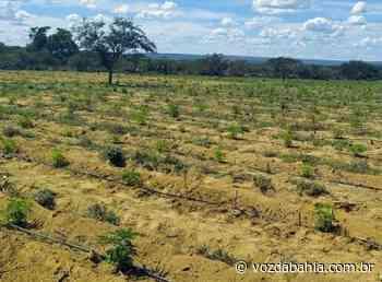 Plantação com 30 mil pés de maconha é descoberta em Campo Formoso - Voz da Bahia