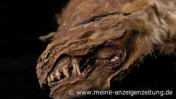 57.000 Jahre alt: Forscher entdecken perfekt erhaltenen Wolfswelpen