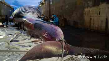 Körper soll untersucht werden: Riesiger Wal-Kadaver entdeckt