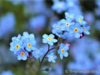 Forget-me-nots overwinter well, flower in spring