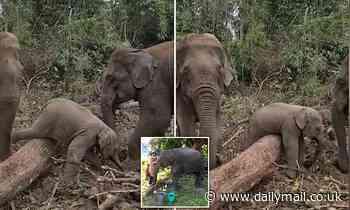 Hilarious moment elephant calf fails to cross over a fallen tree stump