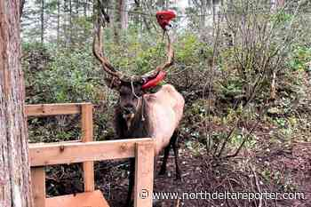 Elk rescued from zip line in Youbou on Vancouver Island - North Delta Reporter