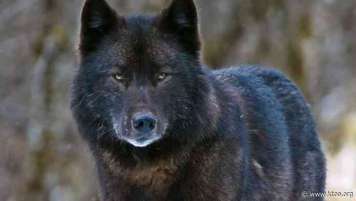 Prince of Wales trappers report 68 wolves taken in 2020