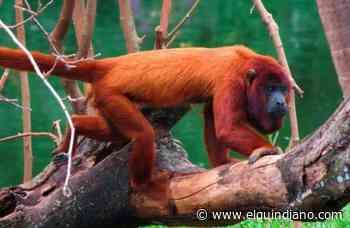 Fragmentación de bosques estaría desplazando al mono aullador en Filandia - El Quindiano S.A.S.