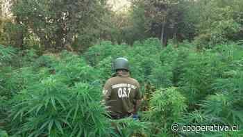 Decomisan más de 13 mil matas de marihuana en sector cordillerano de San Fernando