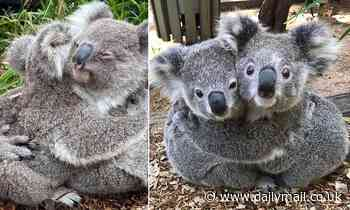 No Covid rules to stop them hugging each other! Photographs show cute koalas cuddling at a park