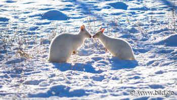 Neunkirchen - Schneeweißer Kuss im Zoo - BILD