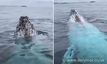 Moment humpback whales swim up to whale watching boat on to Gold Coast