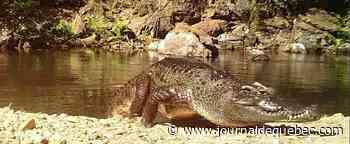 Un crocodile du Siam, en voie d'extinction, aperçu dans un parc de la Thaïlande