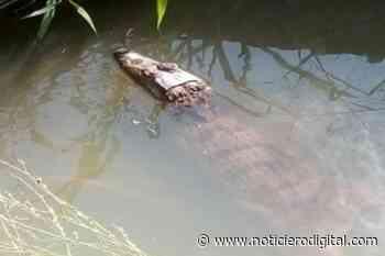 Piden rescatar a un caimán que está en un desagüe de Guanare desde octubre - Noticiero Digital