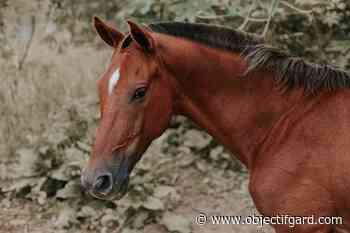 24 novembre 2020 CAISSARGUES Un cheval découvert blessé grièvement à la patte - Objectif Gard
