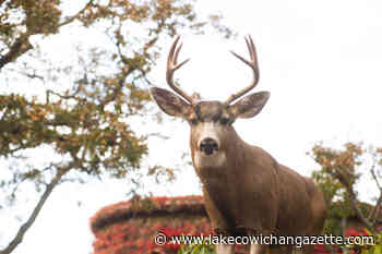 Expanded deer management a non-starter for Greater Victoria - Lake Cowichan Gazette