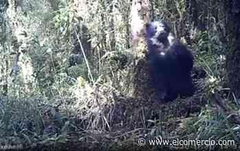 Imágenes del paso de un oso andino en el páramo de Píllaro, en Ecuador - El Comercio (Ecuador)