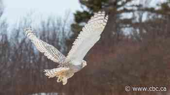 12 cool things to know about snowy owls