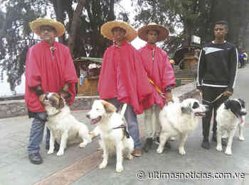 Mucuchíes: 55 años como perro nacional   Últimas Noticias - Últimas Noticias