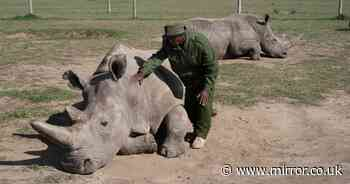 'Race against the clock to bring white rhinos back from the brink of extinction'