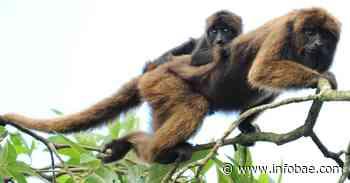 Mono aullador estaría en peligro en Circasia y Filandia, debido a la fragmentación de bosques - infobae