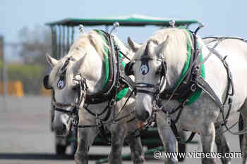Victoria carriage operator trots horse-drawn trolley tours into Brentwood Bay – Victoria News - Victoria News