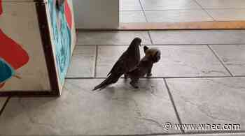 Dove gets piggyback ride from dog at Mia Foundation
