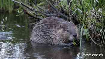 Beaver cull draws criticism from Annapolis Royal residents - CBC.ca