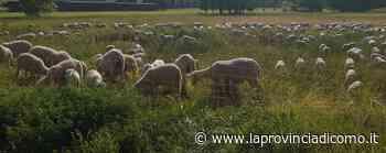 Scompare gregge di 400 pecore Caccia ai ladri nei campi di Luisago - Cronaca, Luisago - La Provincia di Como
