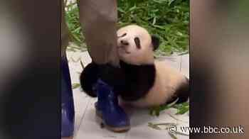 Giant panda cub Fu Bao clings on to zookeeper's leg in viral video