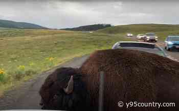Big Bison Shows Yellowstone Tourist How Small Their Car Really Is