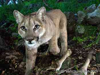 Cougar euthanized in B.C. after severely mauling a man near Whistler