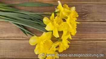 Narzissen als Dekoration: Gelbe Farbkleckse für gute Laune