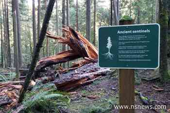 Fallen giant: 500-year-old tree falls in North Vancouver park - North Shore News
