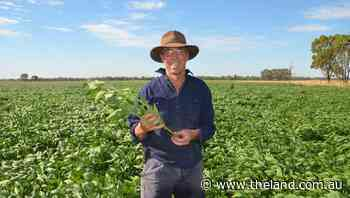 Rise of beans in the Riverina