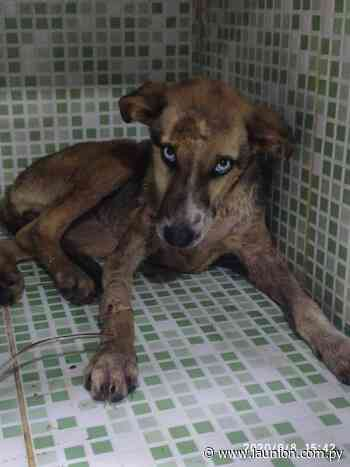 Rescatan cachorra en Itacurubí de la Cordillera e imputan a mujer que faenaba perros para consumo - La Unión - launion.com.py